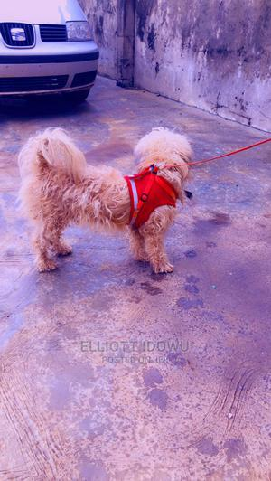 6-12 Month Male Mixed Breed Lhasa Apso   Dogs & Puppies for sale in Lagos State, Ikorodu