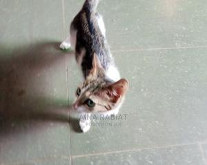 0-1 Month Male Purebred Cat | Cats & Kittens for sale in Ogun State, Ado-Odo/Ota