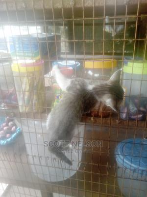 1-3 Month Female Purebred Cat | Cats & Kittens for sale in Delta State, Warri