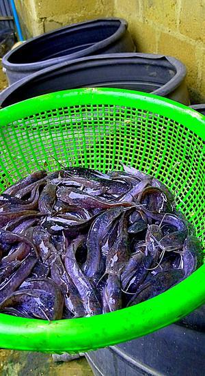 Fingerlings / Juvenile Catfish | Fish for sale in Oyo State, Ibadan