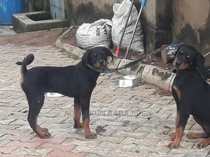 3-6 Month Female Purebred Rottweiler | Dogs & Puppies for sale in Lagos State, Ifako-Ijaiye