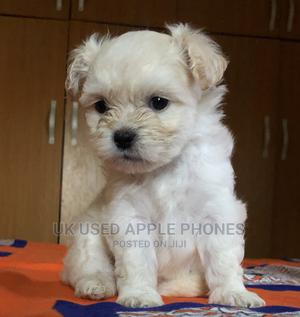 1-3 month Male Purebred Lhasa Apso   Dogs & Puppies for sale in Abuja (FCT) State, Apo District