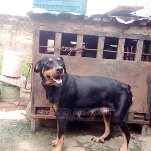 1+ year Female Purebred Rottweiler | Dogs & Puppies for sale in Oyo State, Oluyole
