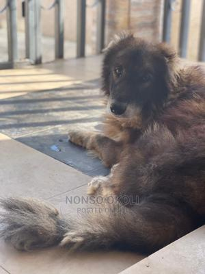 1+ Year Male Mixed Breed Caucasian Shepherd | Dogs & Puppies for sale in Abuja (FCT) State, Kuje