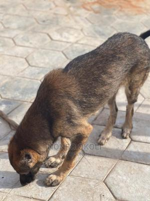 1+ Year Male Mixed Breed Basenji | Dogs & Puppies for sale in Abuja (FCT) State, Kuje