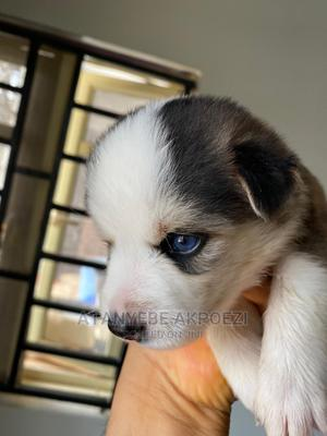 1-3 Month Female Purebred Siberian Husky | Dogs & Puppies for sale in Lagos State, Ojo