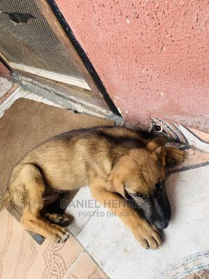 1-3 month Male Purebred German Shepherd | Dogs & Puppies for sale in Lagos State, Apapa