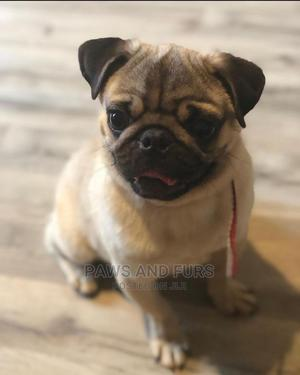 1-3 Month Male Purebred Pug | Dogs & Puppies for sale in Lagos State, Amuwo-Odofin