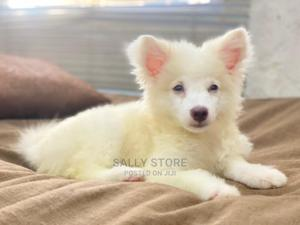 3-6 Month Female Purebred American Eskimo | Dogs & Puppies for sale in Lagos State, Lekki