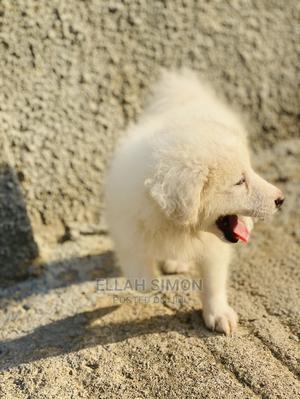 1-3 Month Male Purebred American Eskimo | Dogs & Puppies for sale in Lagos State, Ilupeju