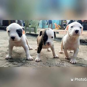 1-3 month Male Purebred American Pit Bull Terrier | Dogs & Puppies for sale in Lagos State, Mushin