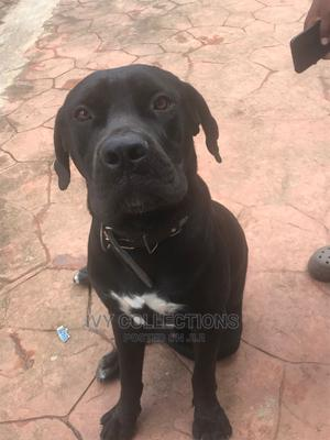 1-3 Month Female Purebred Boerboel   Dogs & Puppies for sale in Abuja (FCT) State, Lokogoma