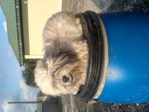 6-12 Month Male Purebred Lhasa Apso | Dogs & Puppies for sale in Lagos State, Ajah