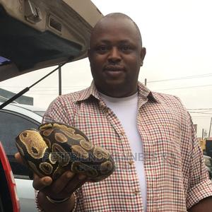 Ball Python   Reptiles for sale in Lagos State, Badagry