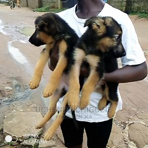 1-3 Month Female Purebred German Shepherd | Dogs & Puppies for sale in Lagos State, Alimosho