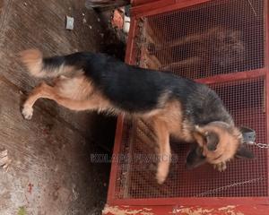 1+ Year Female Purebred German Shepherd   Dogs & Puppies for sale in Ogun State, Ijebu Ode