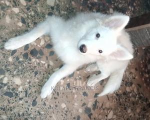 1+ Year Female Purebred American Eskimo | Dogs & Puppies for sale in Ogun State, Ijebu Ode