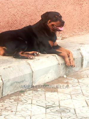 1+ Year Female Purebred Rottweiler | Dogs & Puppies for sale in Abuja (FCT) State, Kubwa