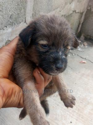 1-3 Month Male Mixed Breed Australian Shepherd | Dogs & Puppies for sale in Rivers State, Port-Harcourt