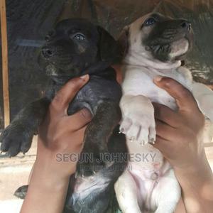 1-3 Month Male Purebred Boerboel | Dogs & Puppies for sale in Edo State, Akoko-Edo