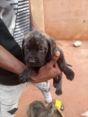 0-1 Month Female Purebred Boerboel | Dogs & Puppies for sale in Edo State, Benin City