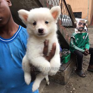 0-1 Month Female Purebred American Eskimo   Dogs & Puppies for sale in Lagos State, Orile