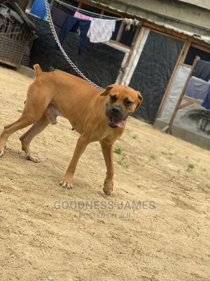 1+ Year Male Purebred Boerboel | Dogs & Puppies for sale in Lagos State, Ojo