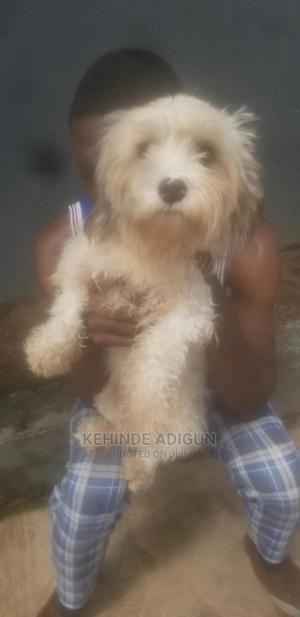 6-12 Month Male Purebred Lhasa Apso | Dogs & Puppies for sale in Oyo State, Ogbomosho North