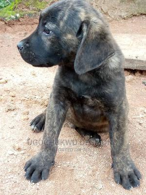 1-3 Month Female Purebred Boerboel | Dogs & Puppies for sale in Anambra State, Awka