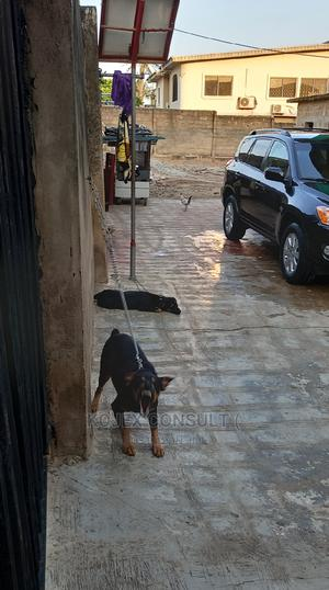 1-3 Month Male Purebred Rottweiler   Dogs & Puppies for sale in Lagos State, Ikeja