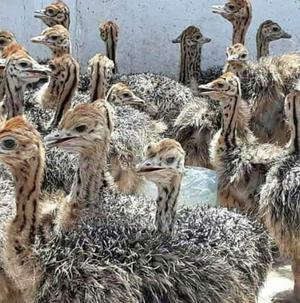 Ostrich For Sale | Birds for sale in Ogun State, Obafemi-Owode