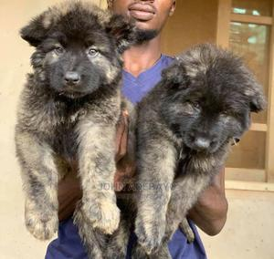 1-3 Month Female Purebred Caucasian Shepherd | Dogs & Puppies for sale in Abia State, Bende