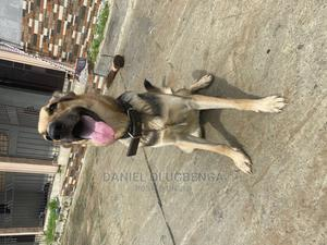 6-12 Month Female Purebred German Shepherd   Dogs & Puppies for sale in Delta State, Warri