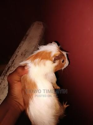 They Really Beautiful and Nice Guinea Pig   Other Animals for sale in Ekiti State, Ise/Orun