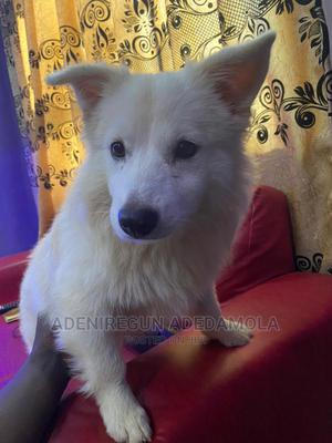 3-6 Month Male Purebred American Eskimo | Dogs & Puppies for sale in Ogun State, Abeokuta South