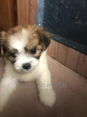 1-3 Month Male Purebred Lhasa Apso | Dogs & Puppies for sale in Bayelsa State, Yenagoa