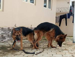 1-3 Month Female Purebred German Shepherd | Dogs & Puppies for sale in Lagos State, Ojodu