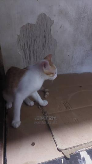 3-6 Month Male Purebred Cat | Cats & Kittens for sale in Lagos State, Victoria Island