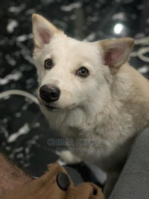 1+ Year Female Purebred Samoyed | Dogs & Puppies for sale in Rivers State, Port-Harcourt