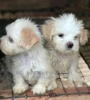 0-1 Month Male Purebred Lhasa Apso   Dogs & Puppies for sale in Kogi State, Okene