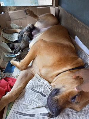 1+ Year Female Purebred Boerboel | Dogs & Puppies for sale in Lagos State, Alimosho