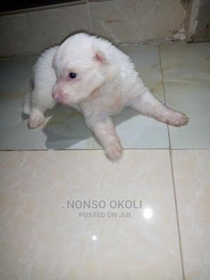 1-3 Month Male Purebred American Eskimo | Dogs & Puppies for sale in Abuja (FCT) State, Kuje