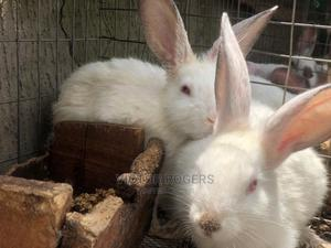 Peter Rabbits | Other Animals for sale in Anambra State, Oyi
