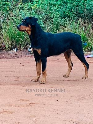 6-12 Month Female Purebred Rottweiler | Dogs & Puppies for sale in Edo State, Benin City
