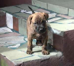 1-3 Month Female Purebred Boerboel | Dogs & Puppies for sale in Rivers State, Port-Harcourt