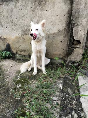 1+ Year Female Purebred American Eskimo   Dogs & Puppies for sale in Rivers State, Port-Harcourt