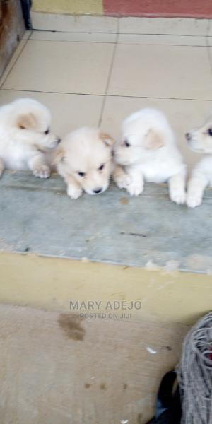 1-3 Month Female Mixed Breed American Eskimo   Dogs & Puppies for sale in Lagos State, Ifako-Ijaiye