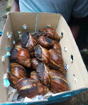 Big and Rich Snails   Livestock & Poultry for sale in Lagos State, Ikeja