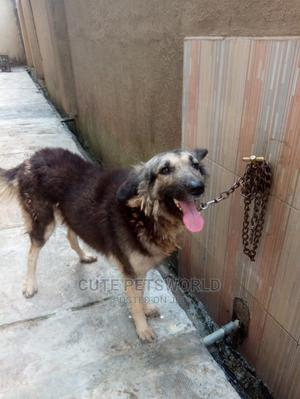1+ Year Female Mixed Breed Caucasian Shepherd | Dogs & Puppies for sale in Ogun State, Obafemi-Owode
