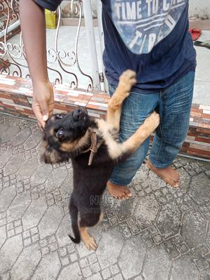 1-3 Month Female Purebred Caucasian Shepherd   Dogs & Puppies for sale in Imo State, Owerri